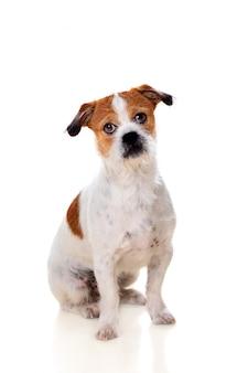 Mały brązowy i biały pies