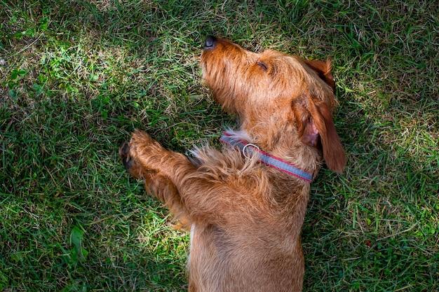 Mały brązowy jamnik szorstkowłosy odpoczynku na trawie w letni dzień