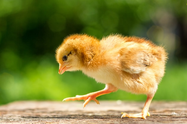 Mały brązowy kurczak stoi na drewnianym tle, a następnie naturalne zielone tło
