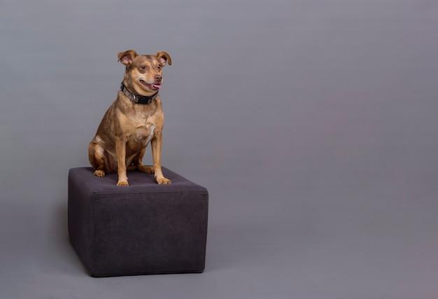 Mały brązowy pies siedzący na podium pozujący na zdjęciu studyjnym