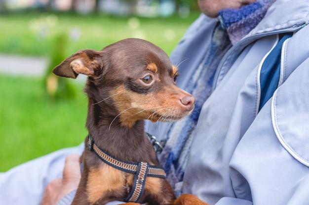 Mały brązowy pies terier rosyjski w rękach właściciela