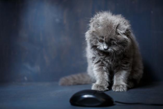 Mały brytyjski kotek zwisłouchy bawi się myszą komputerową
