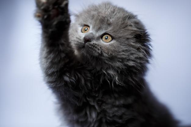 Mały brytyjski zwisłouchy kociak z siwymi włosami na białym tle
