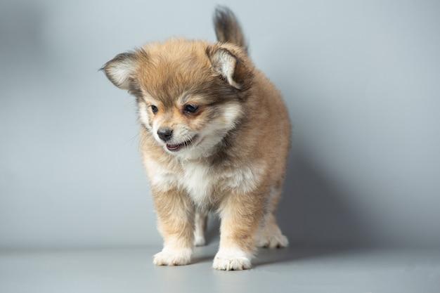 Mały chihuahua na szarej powierzchni