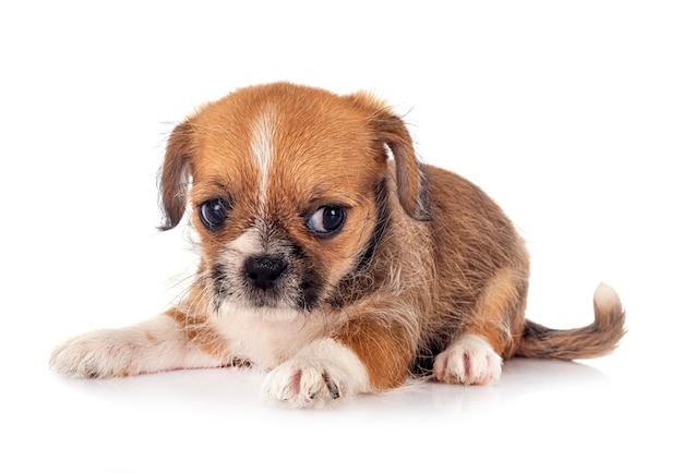 Mały Chihuahua Przed Białym Tłem Premium Zdjęcia