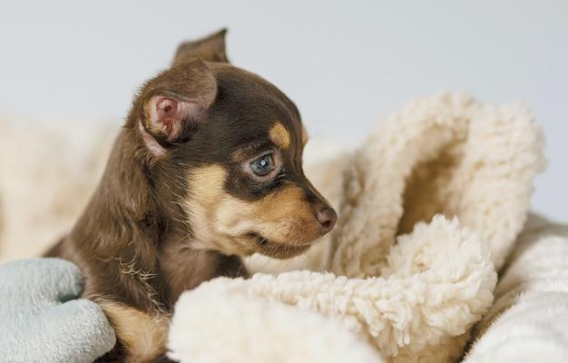 Mały chihuahua