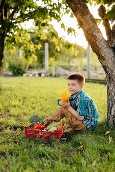 Mały chłopiec siedzi pod drzewem w ogrodzie z całym pudełkiem dojrzałych warzyw o zachodzie słońca. rolnictwo, zbiory. produkt przyjazny dla środowiska.
