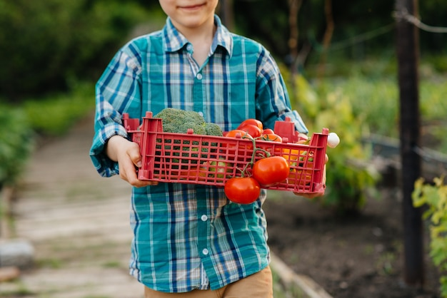 Mały chłopiec stoi z całym pudełkiem dojrzałych warzyw o zachodzie słońca w ogrodzie i uśmiecha się. rolnictwo, zbiory. produkt przyjazny dla środowiska.