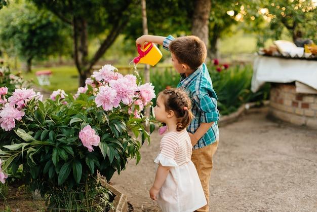 Mały chłopiec z siostrą podlewa piękne różowe kwiaty piwonii podczas zachodu słońca w ogrodzie i uśmiecha się. rolnictwo, ogrodnictwo.