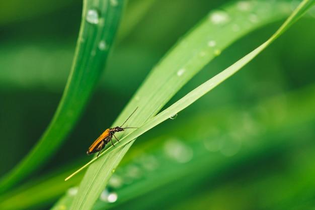 Mały chrząszcz cerambycidae na żywej błyszczącej zielonej trawie z rosa opuszcza zakończenie z kopii przestrzenią. czysta, przyjemna, ładna zieleń z kroplami deszczu w słońcu w makro. zielone rośliny w deszczu.