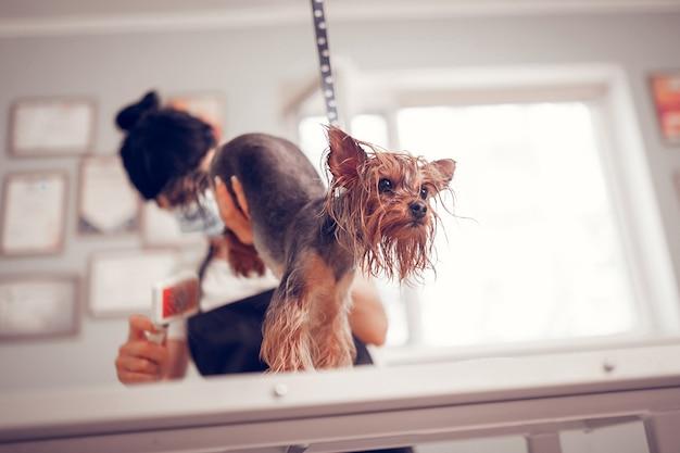 Mały ciemnooki pies. słodki, ciemnooki piesek czuje się święty, gdy pracownik pielęgnuje go w salonie fryzjerskim
