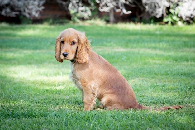 Mały cocker spaniel pies z pięknym blond włosami na zielonej trawie
