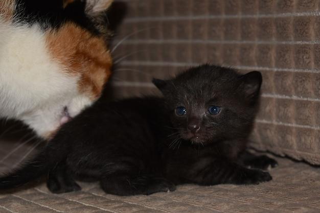 Mały czarny futrzany kotek z mamą