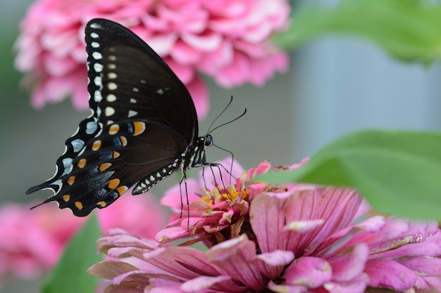 Mały czarny motyl satyrium na różowym kwiatku