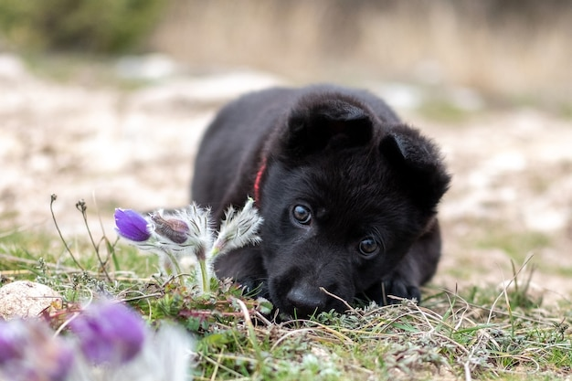 Mały czarny owczarek niemiecki leży na trawie obok wiosennych kwiatów.