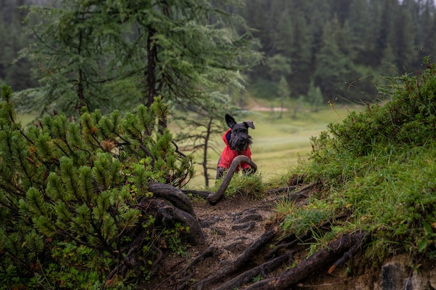 Mały czarny pies na leśnej górskiej wędrówce ze swoim właścicielem. stoi i czeka na szlaku