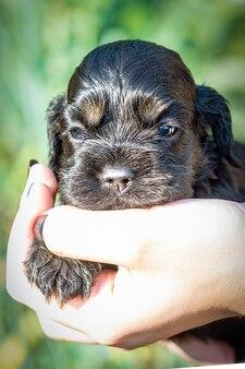 Mały czarny szczeniak rasy cocker spaniel amerykański w dłoni dziewczyny.