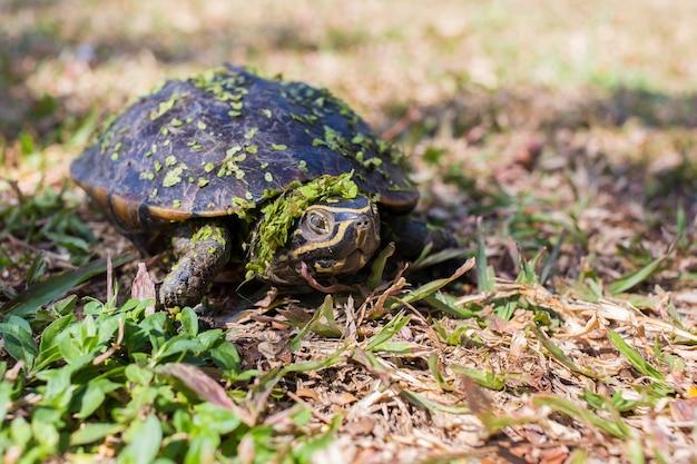 Mały czarny żółw chodzi po trawie. zielona trawa przykleja się do jego ciała.