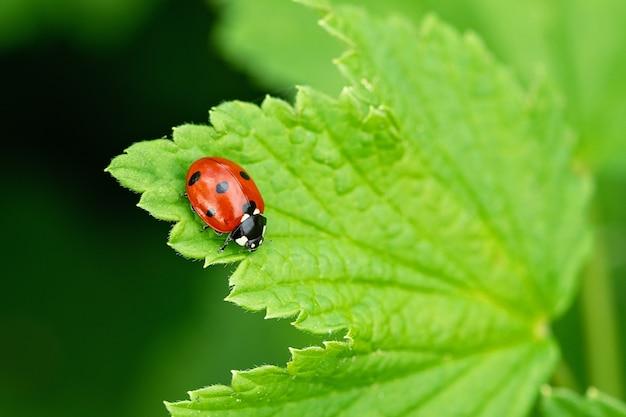 Mały czerwony biedronka na zielonym liściu. piękna przyroda - obraz