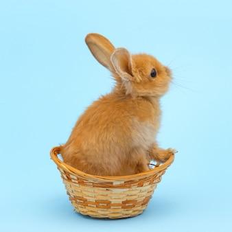 Mały czerwony królik w wiklinowym koszu na niebieskiej powierzchni. koncepcja świąt wielkanocnych.