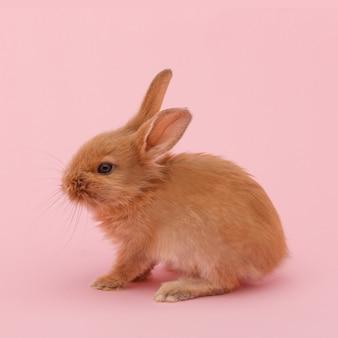Mały czerwony puszysty królik na różowej powierzchni. koncepcja świąt wielkanocnych