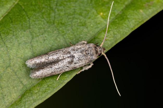 Mały dorosły motyl z rzędu lepidoptera