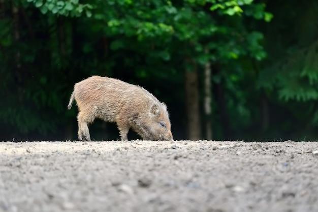 Mały dzik w lesie na wiosnę