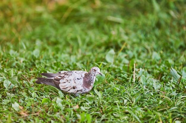 Mały gołąb szuka karmienia