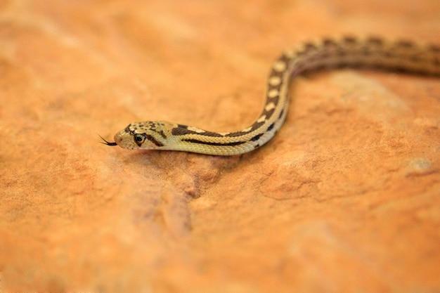 Mały gopher snake on rock