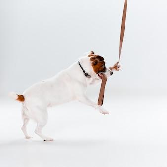 Mały jack russell terrier na białym tle