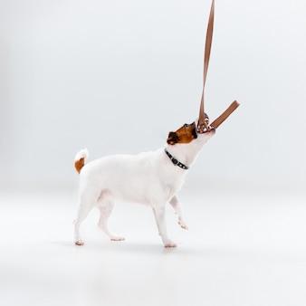 Mały jack russell terrier na bielu