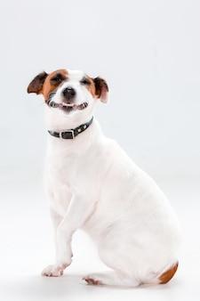 Mały jack russell terrier siedzi na bielu