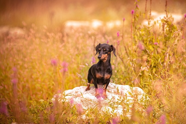 Mały jamnik na trawie w przyrodzie