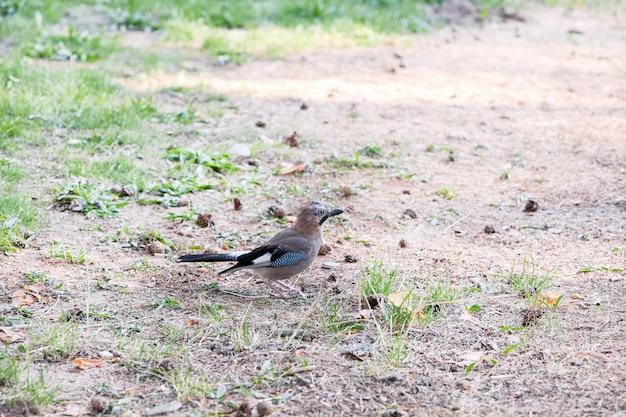 Mały jaybird patrzeje dla jedzenia