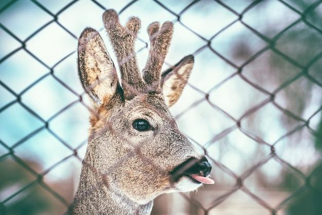 Mały jeleń dziecko pokazuje język