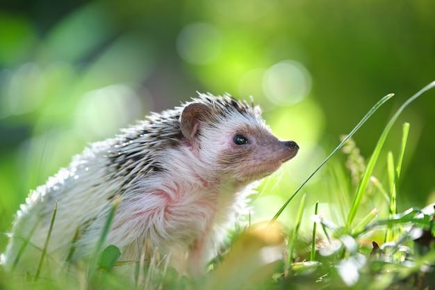 Mały jeż afrykański zwierzę na zielonej trawie na zewnątrz w letni dzień. utrzymanie zwierząt domowych i koncepcja opieki nad zwierzętami domowymi.