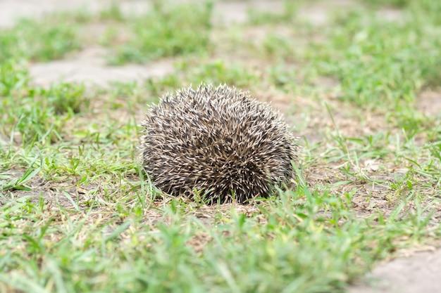 Mały jeż na trawniku z zieloną trawą