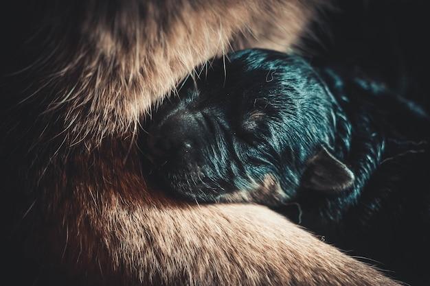 Mały kaganiec noworodka szczeniaka z bliska leżący na nodze matki