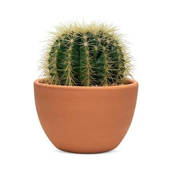Mały kaktus beczkowy w doniczce z terakoty
