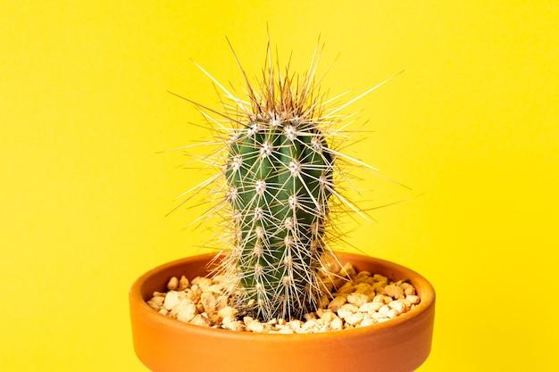 Mały kaktus stetsonia coryne w doniczce na żółtym tle.