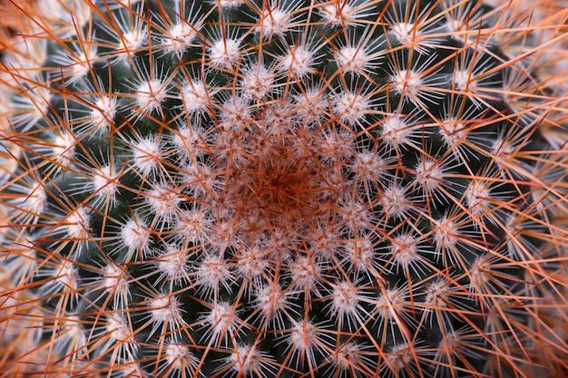 Mały kaktusowy makro- strzał