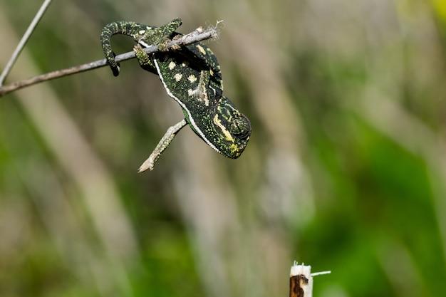 Mały kameleon balansujący na gałązce kopru włoskiego.