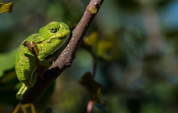 Mały kameleon śródziemnomorski (chamaeleo chamaeleon) powoli poruszający się na drzewie chleba świętojańskiego na malcie