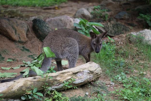 Mały kangur zostaje i je trawę w ogrodzie