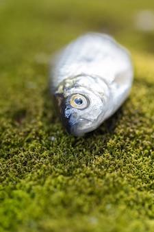Mały karaś leży na zielonym mchu