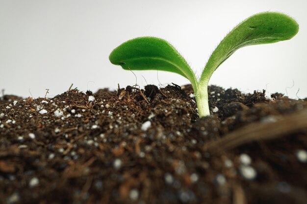 Mały kiełek rosnącej rośliny w glebie z bliska, makro