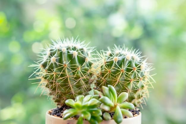 Mały kierowy kształta kaktus w kwiatu garnku z zielonym drzewnym bokeh tłem