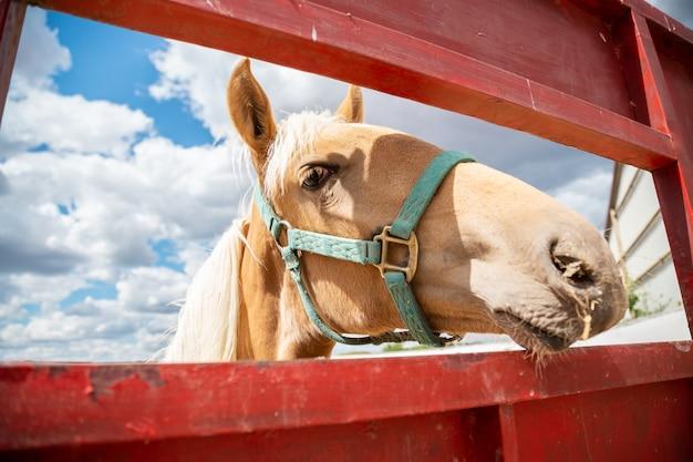 Mały koń wystający przez płot na farmie