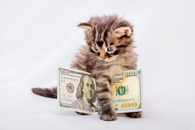 Mały kot trzyma sto dolarów. nagroda za sesję zdjęciową. pieniądze na zakupy_