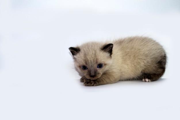 Mały kotek na białym tle trzytygodniowy kociak